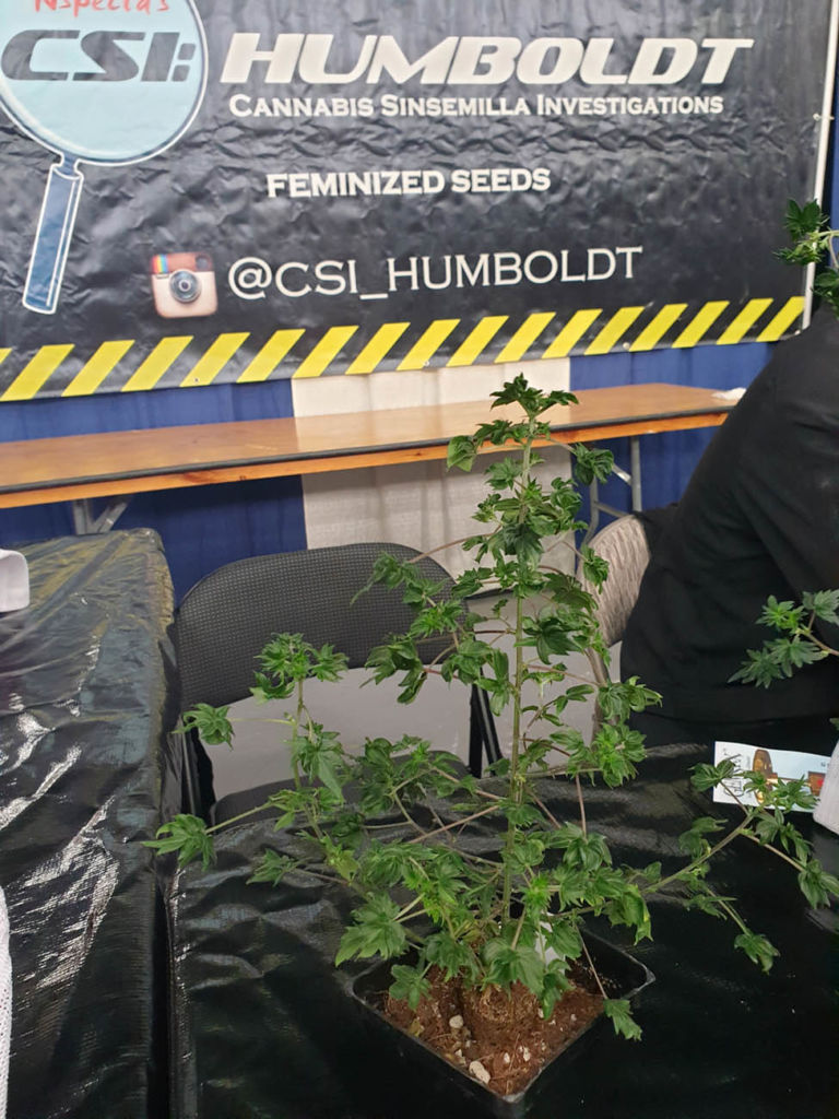 A variety of cannabis with a very strange shape on the CSI Humboldt ABC or Australian Bastard Cannabis stand. © Zmoothiez