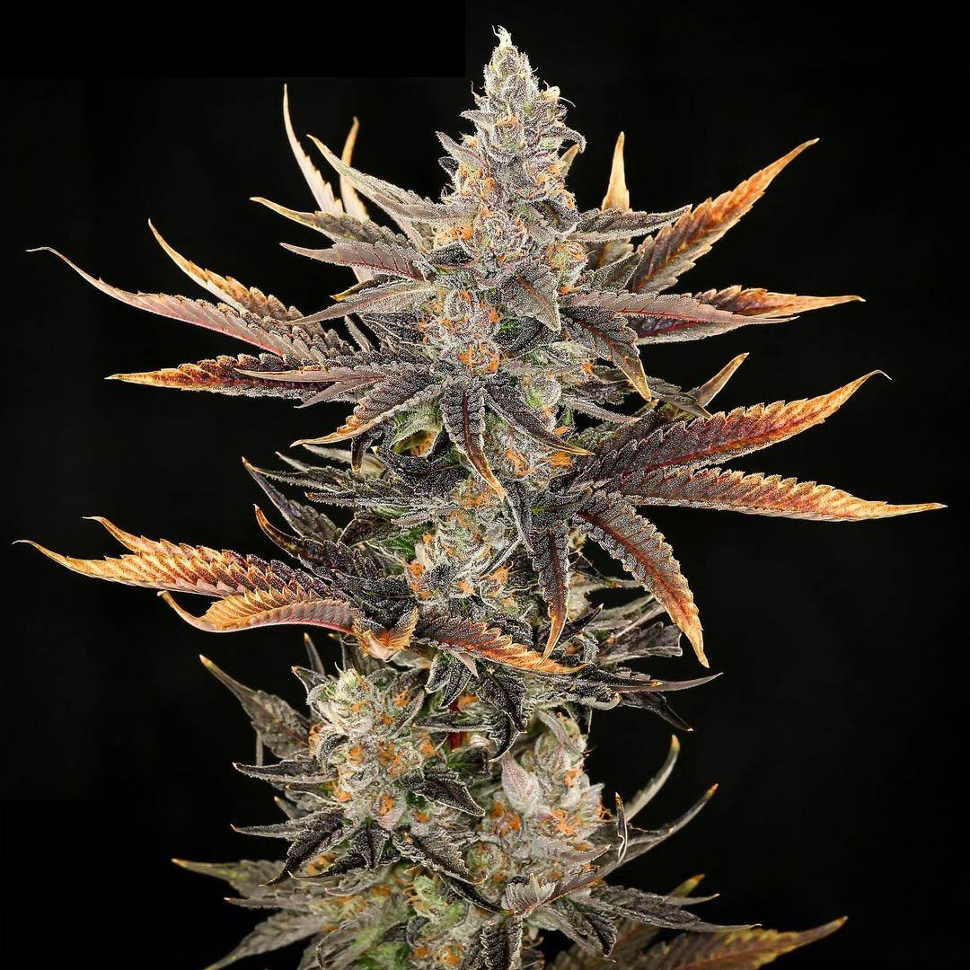 Rambutan cannabis strain grown by greendotlabs_dave