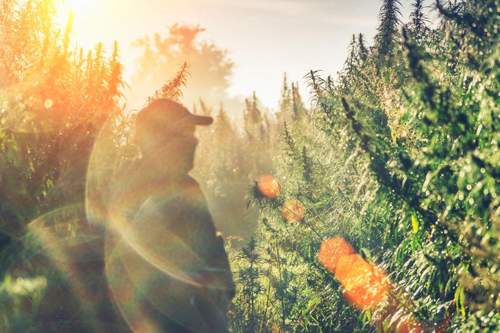 Silhouette of a man on a hemp field in sunlight
